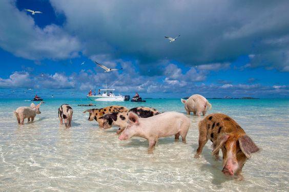 Swimming Pigs Sandals Bahamas Adventugo.com