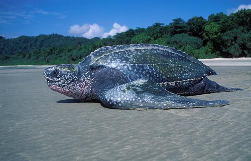 Turtle Migration Trinidad Adventugo.com
