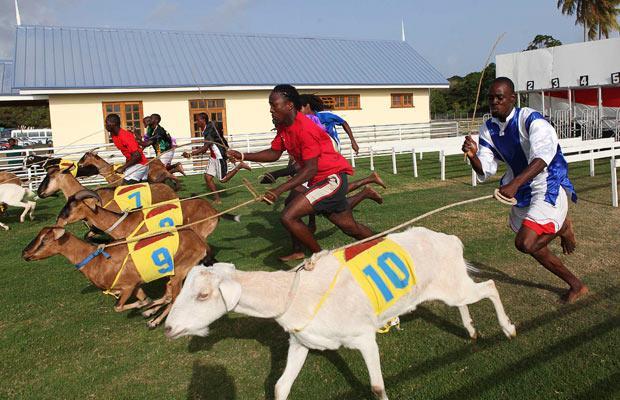 Goat Races Trinidad Adventugo.com