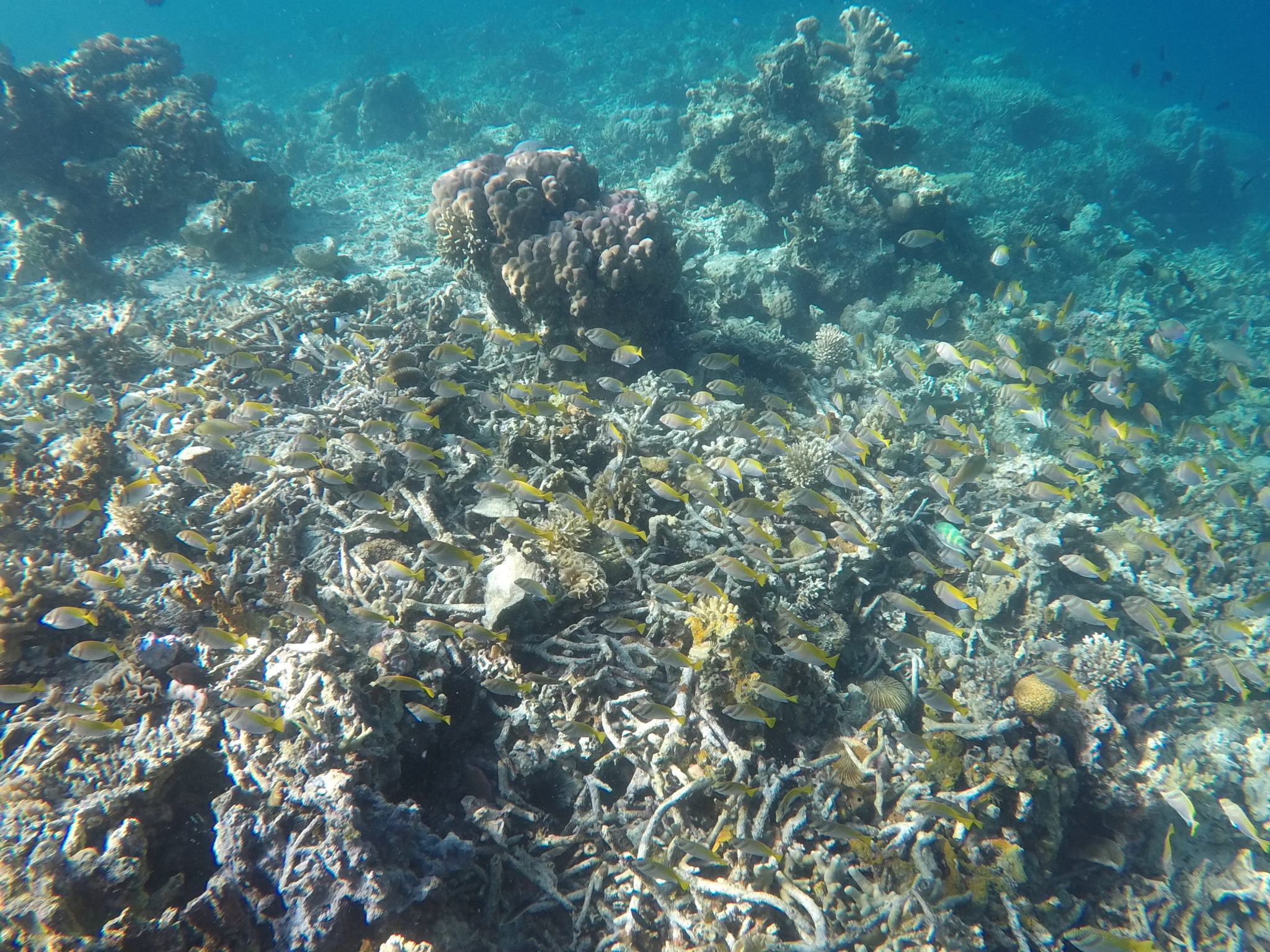 Snorkelling with yellow rabbit fish